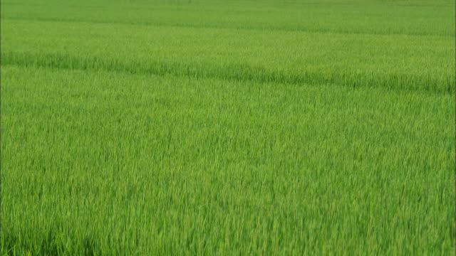 rice paddies in akita city - 秋田県点の映像素材/bロール