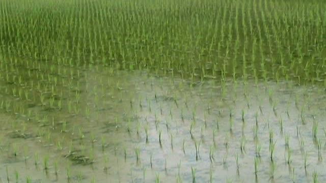 Reisfelder in Japan