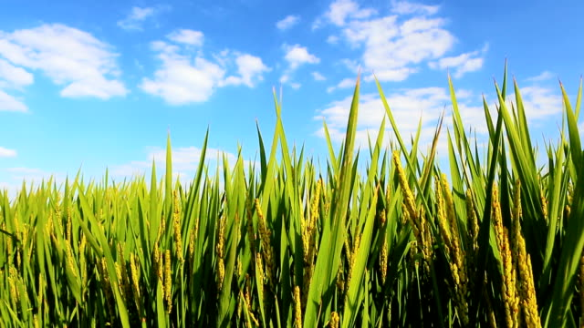 rice paddies in wind - paddy field stock videos & royalty-free footage