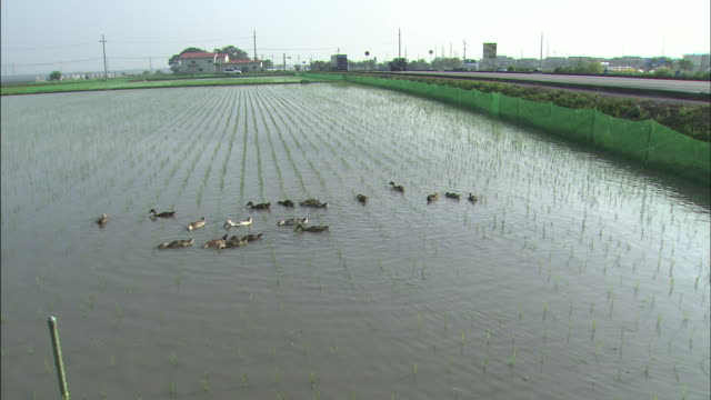 rice paddies: long shot/ a flock of ducks picking food - 水田点の映像素材/bロール