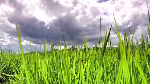 Rice paddy against cloud scape, dolly.