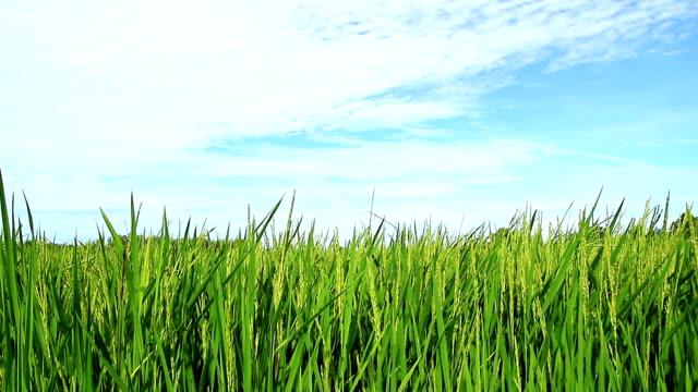 Rice paddy und blauer Himmel Hintergrund