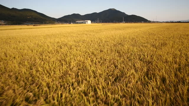 rice paddy and mountain at ganghwado area - rice plant stock videos and b-roll footage
