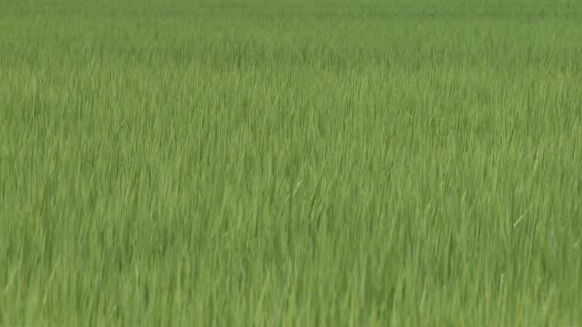 rice paddy and mt. iwaki - aomori prefecture stock videos & royalty-free footage