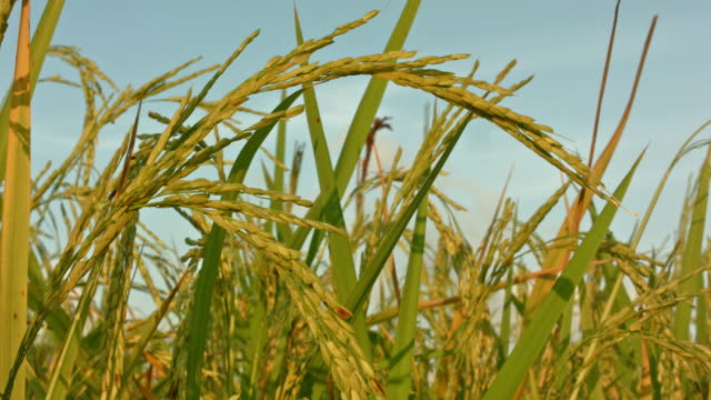 rice paddy close up - rice plant stock videos and b-roll footage