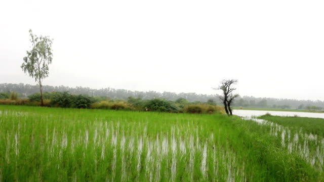 rice paddy crop - rice paddy stock videos and b-roll footage
