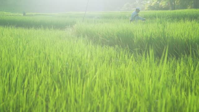 rice paddy farmer working. philippines iconic image - モミ点の映像素材/bロール