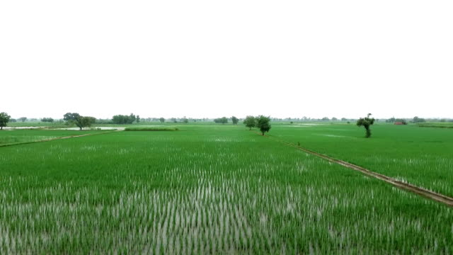 rice paddy field - rice cereal plant stock videos and b-roll footage