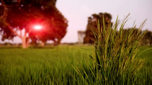 rice paddy field - paddy field stock videos & royalty-free footage