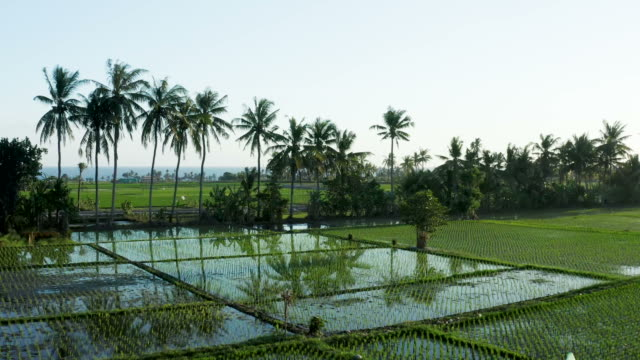 rice paddy fields with coconut trees in bali - rice paddy stock videos & royalty-free footage
