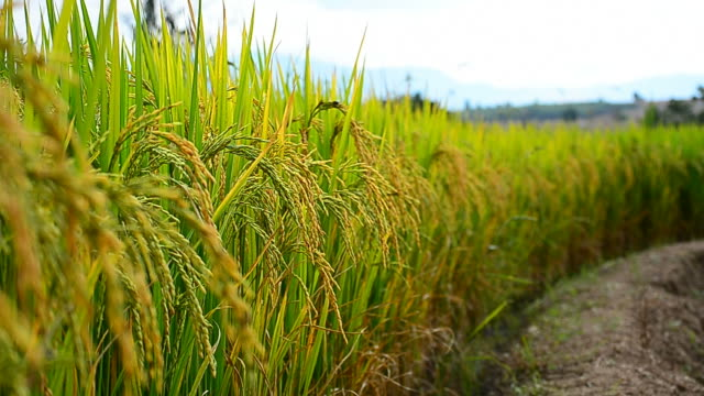 rice paddy grains in harvest season - full hd format stock videos & royalty-free footage