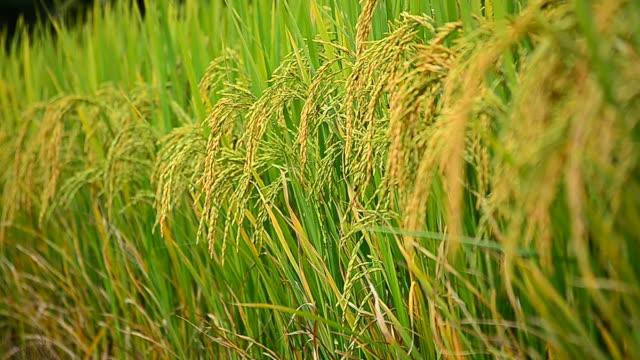 Rice Paddy Grains in Harvest Season