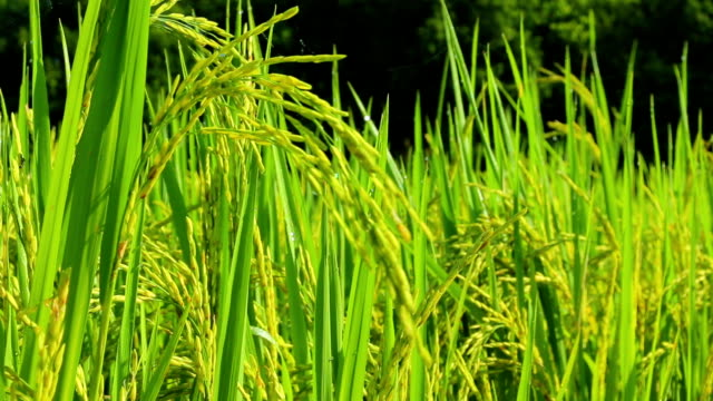 rice paddy grains in harvest season - husking stock videos & royalty-free footage
