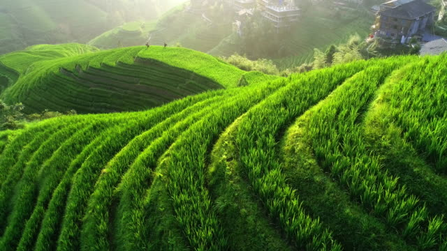 rice paddy in longsheng - rice paddy stock videos & royalty-free footage