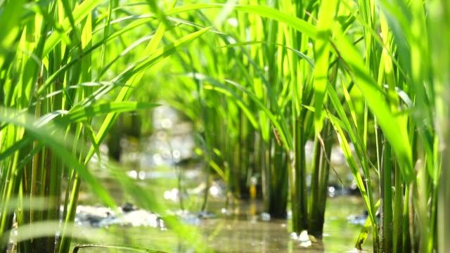 vídeos y material grabado en eventos de stock de arrozal en verano vista de ángulo bajo - grano planta