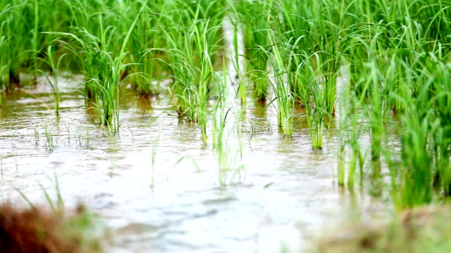 Rice paddy in summer
