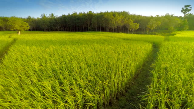 rice paddy in the morning - rice paddy stock videos and b-roll footage