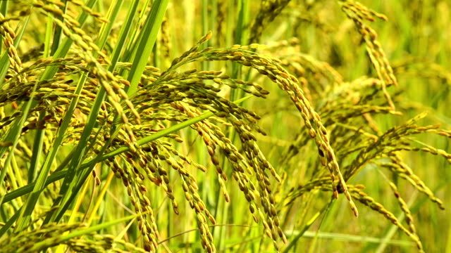 rice paddy plant close up - paddy field stock videos & royalty-free footage