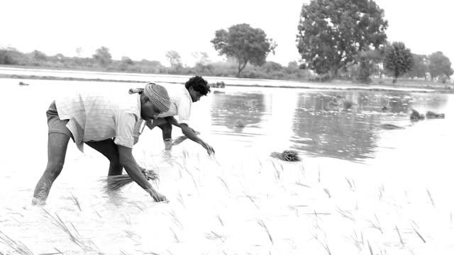 vídeos y material grabado en eventos de stock de campo de arroz plantation - grano planta