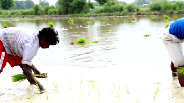 rice paddy plantation - seed stock videos & royalty-free footage