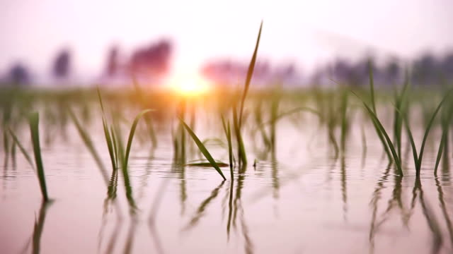 rice paddy swaying through wind outdoor in nature - paddy field stock videos & royalty-free footage
