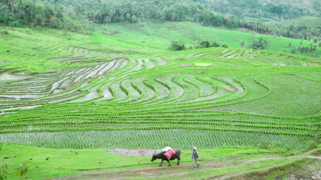 rice paddy terraces from high angle point of view. man with buffalo crossing the frame. candijay, bohol, philippines - arbeitstier stock-videos und b-roll-filmmaterial