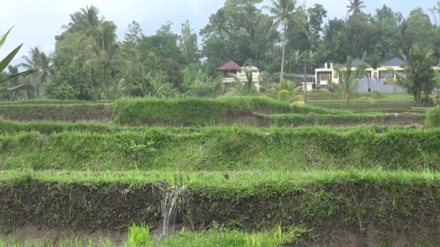 ms rice paddy terraces in the jatiluwih area of central bali with water flowing downhill from tier to tier in channels the subak system of irrigation... - asian style conical hat stock videos & royalty-free footage