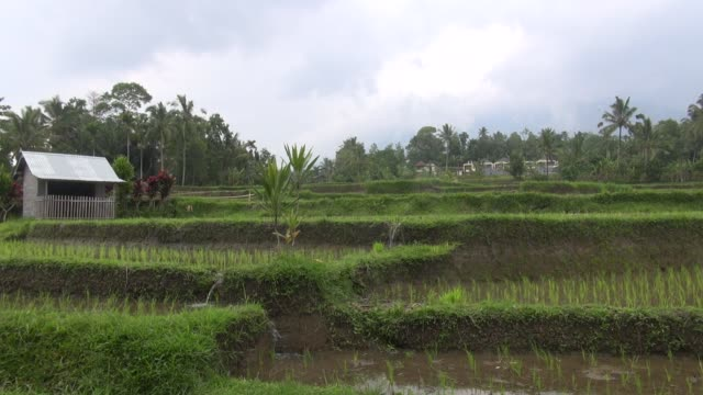 ws rice paddy terraces in the jatiluwih area of central bali with water flowing downhill from tier to tier in channels the subak system of irrigation... - asian style conical hat stock videos & royalty-free footage