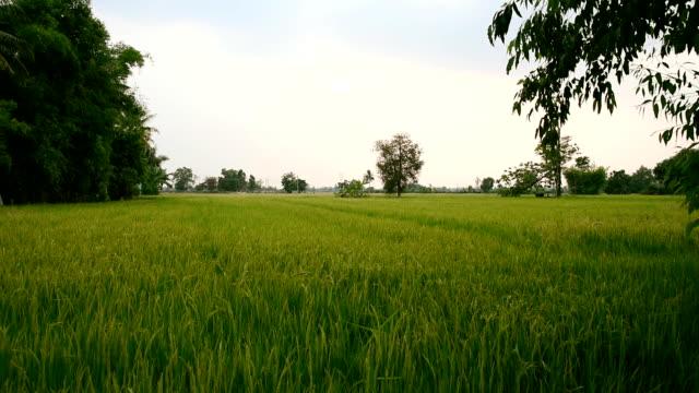 vídeos de stock e filmes b-roll de arroz paddy - agrafo