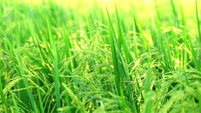 rice paddy - sticky stock videos and b-roll footage