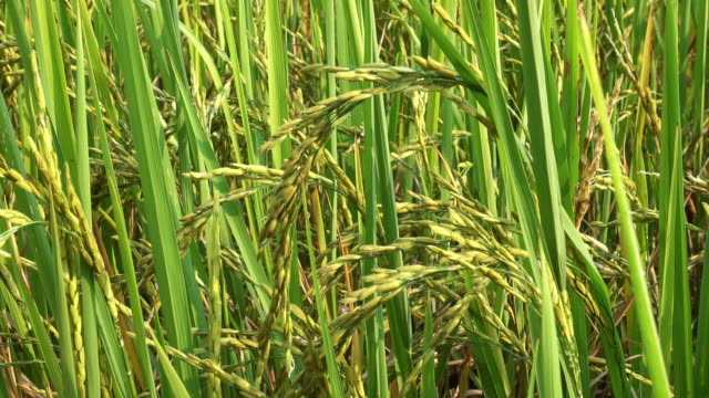 Reis Pflanze 4 K