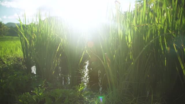 rice plant close-up. paddy at philippines - モミ点の映像素材/bロール