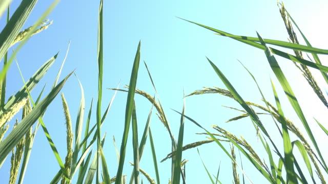 vidéos et rushes de plant de riz - herbe