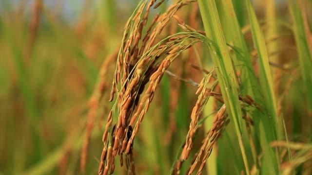 Rice Plant