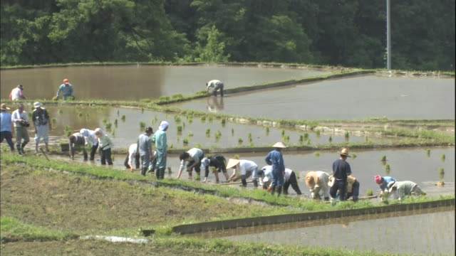 Rice Planting At Terraced Fields