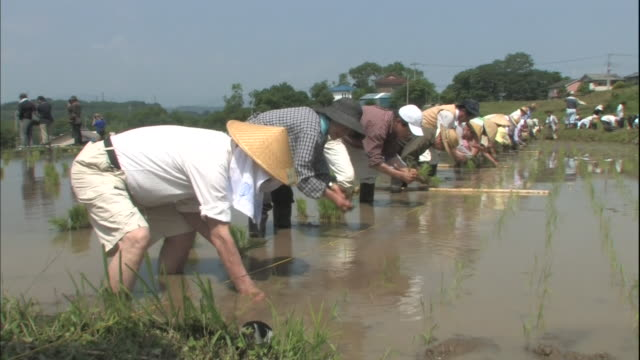 vidéos et rushes de rice planting at terraced fields - cereal plant