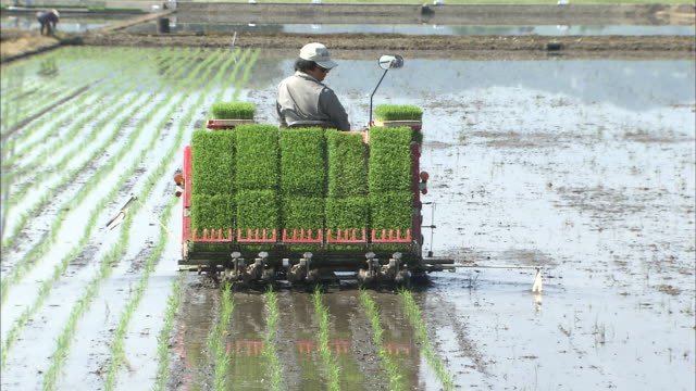 Rice planting machine places plants in rows in muddy paddy field
