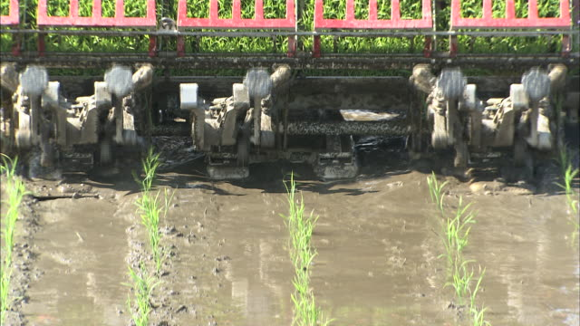 Rice planting machine places rows of young rice plants in muddy paddy field