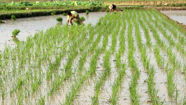 rice planting - rice paddy stock videos & royalty-free footage