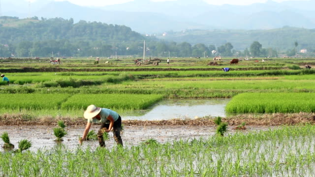 rice planting - rice paddy stock videos and b-roll footage