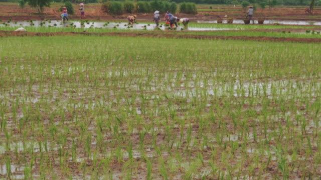 米を植える - ワーキングシニア点の映像素材/bロール