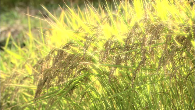 rice plants brighting in gold - rice plant stock videos and b-roll footage