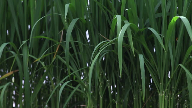 Rice plants close-up