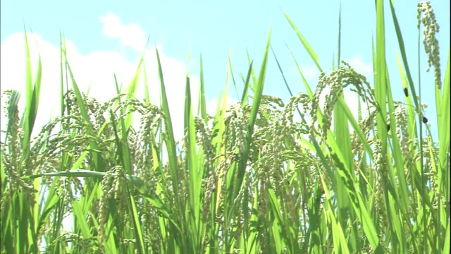 Rice plants grow in a paddy under a summer sky in Kochi, Japan.