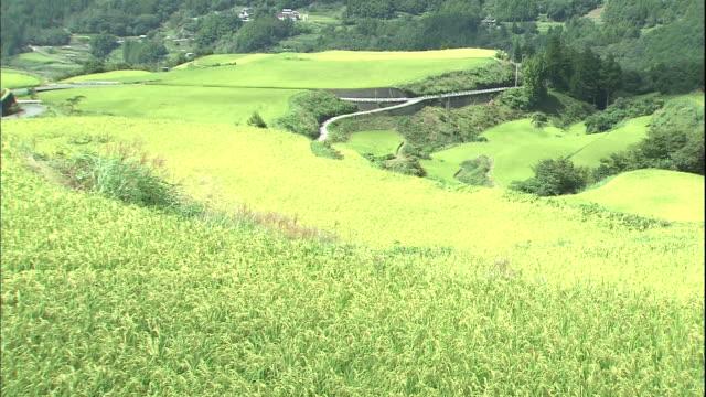 Rice plants grow on a terrace farm in Kochi, Japan.