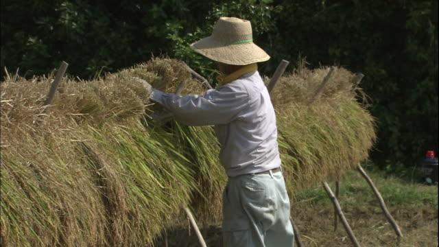 vídeos y material grabado en eventos de stock de rice reaping in yakushima. - oficio agrícola