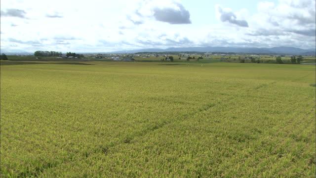 rice rice farming, agriculture asahikawa city hokkaido - asahikawa stock videos & royalty-free footage