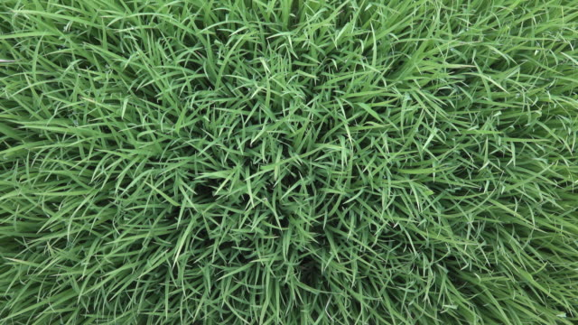 rice sapling top view - grass family stock videos & royalty-free footage