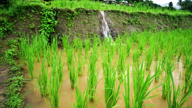 Rice seedlings in the rice field, water flow from nature to field ,at Ban Pa Bong Piang Hill tribe village, Chiangmai, Thailand.