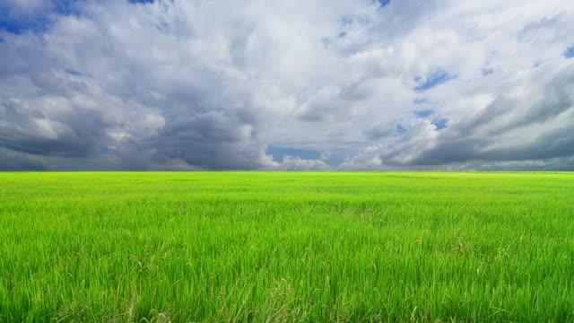 vidéos et rushes de graines de riz - cereal plant